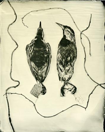 Two Eastern Meadowlarks